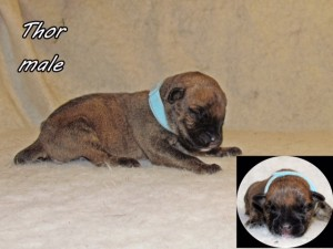 Thor-male bullmastiff puppy available