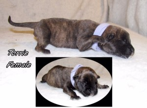 Torrie-Female bullmastiff puppy available