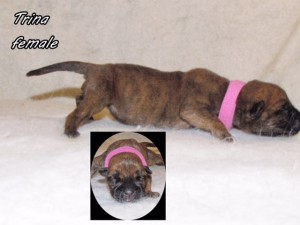 Trina-Female bullmastiff puppy available