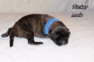 Tucker-male bullmastiff puppy available